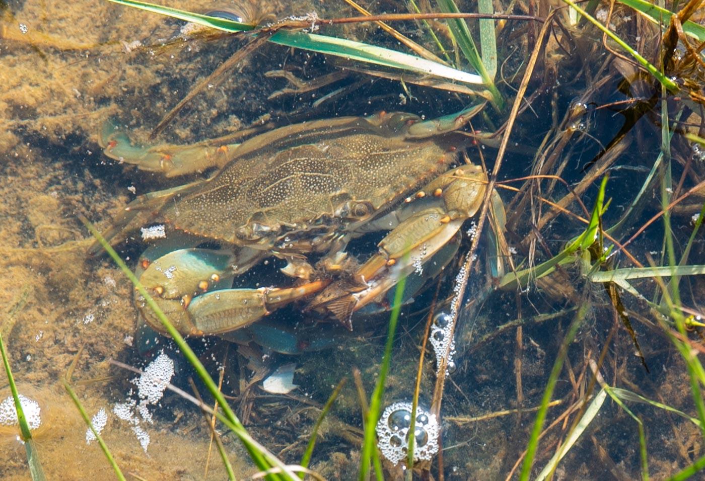 Blue crab eating a razor clam.