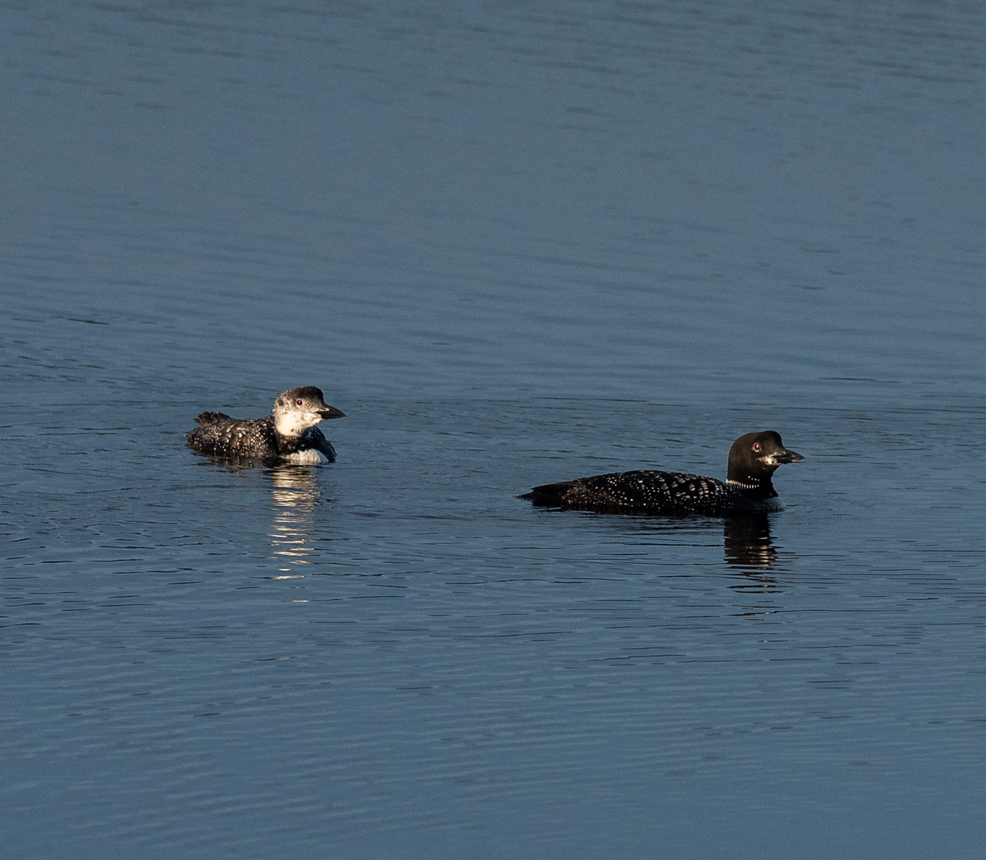 We were visited by loons