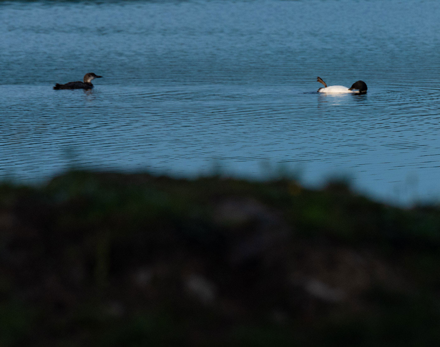 more loons