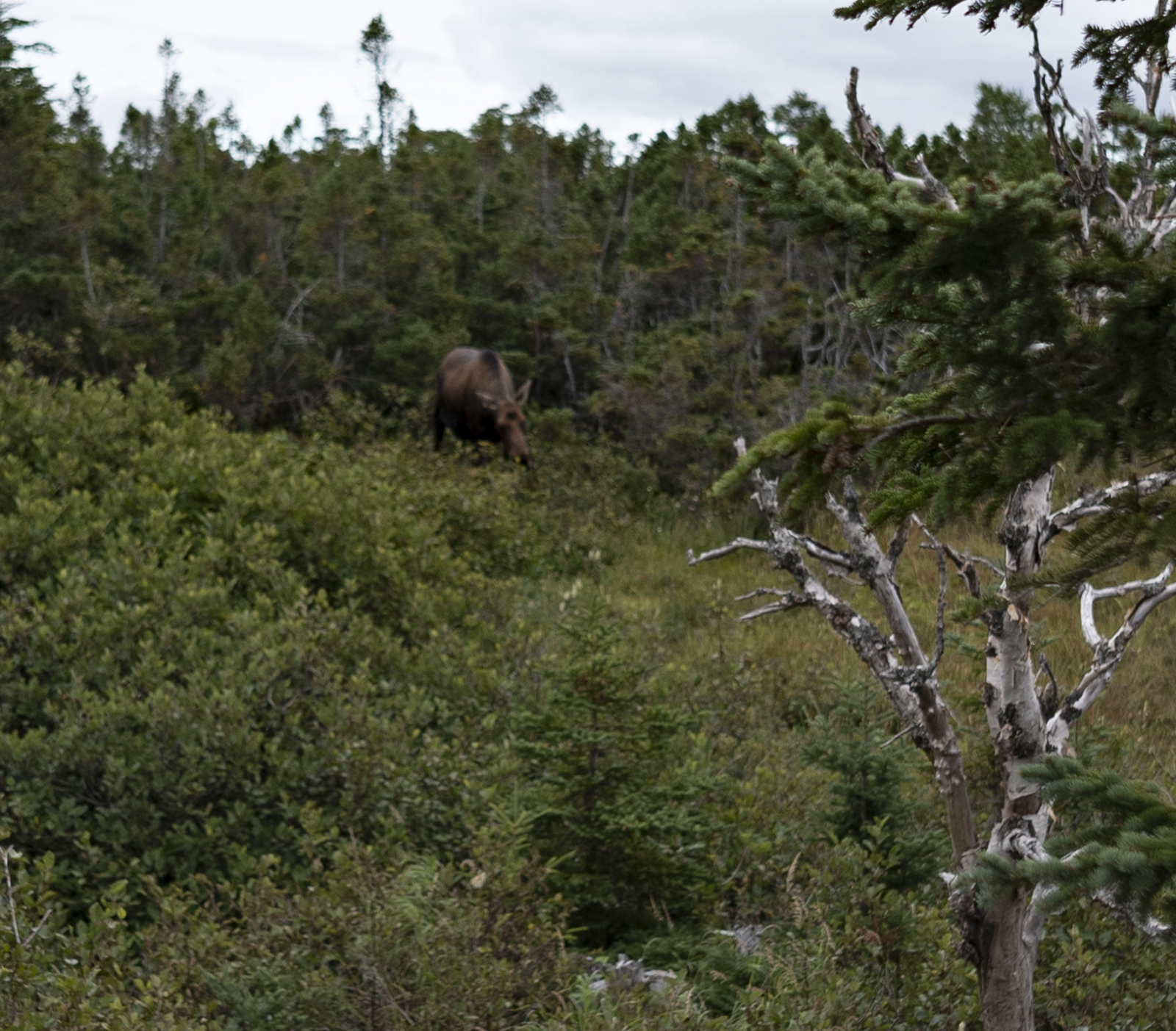 Moose on the side of the trail.