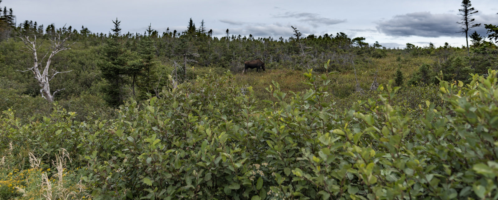 Moose on the side of the trail