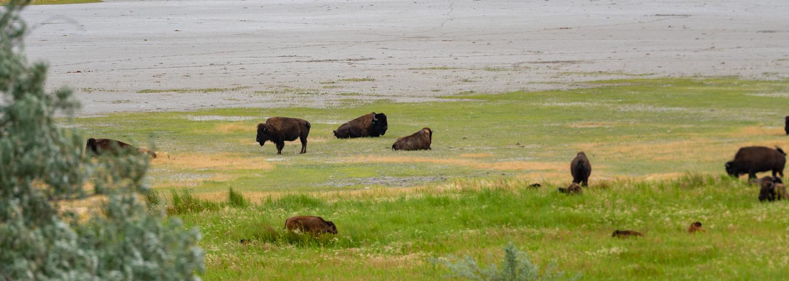 Buffalo on the beach of the Great Salt Lake.