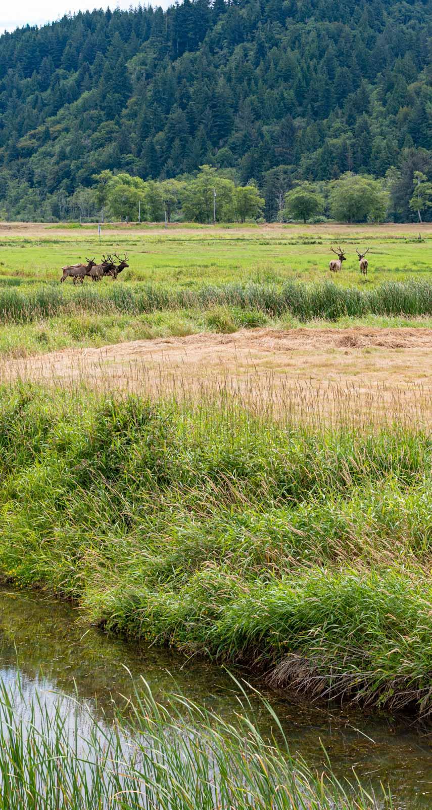Elk along the roadside