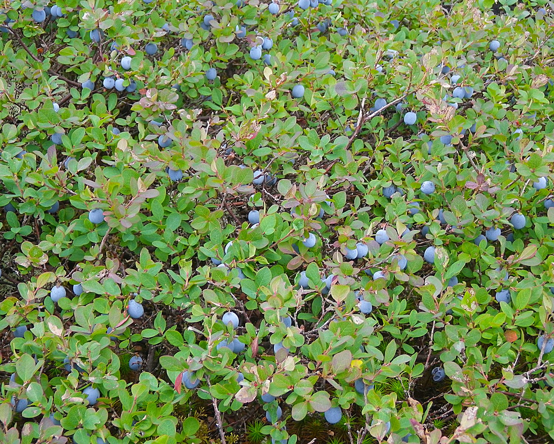 blueberries A.jpg