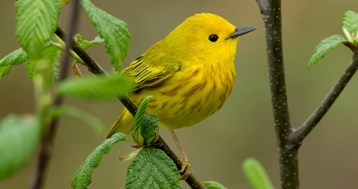 Yellow warbler (Photo credit: All About Birds)
