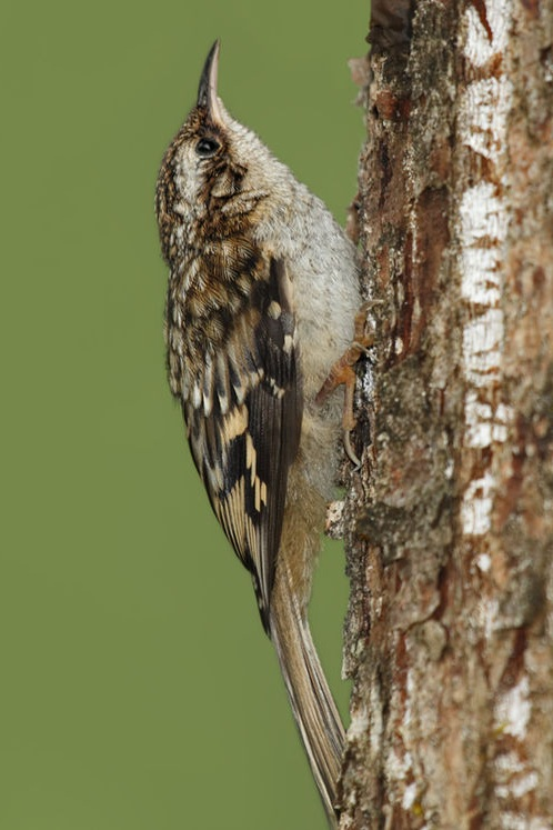 Brown_creeper_%28Certhia_americana%29.jpg