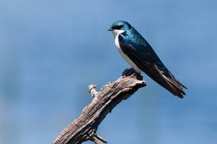 Tree Swallow (photo by Peter Wilton)