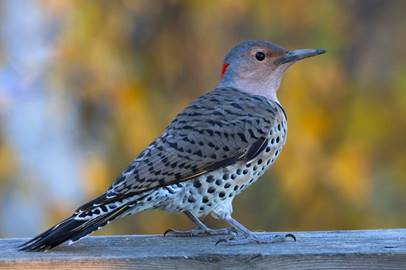 Northern Flicker (picture by dfaulden