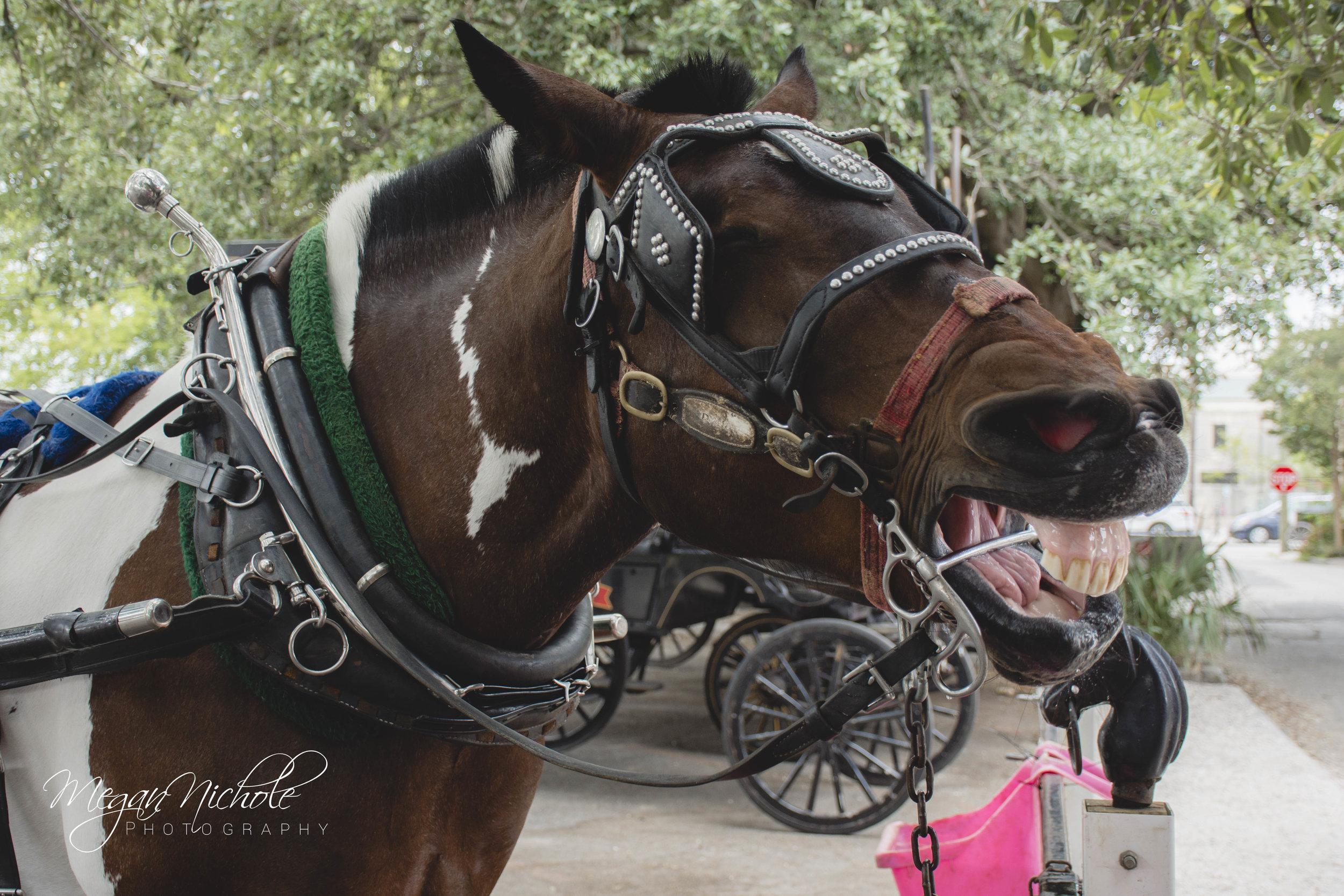 Charleston Carriage ride horse