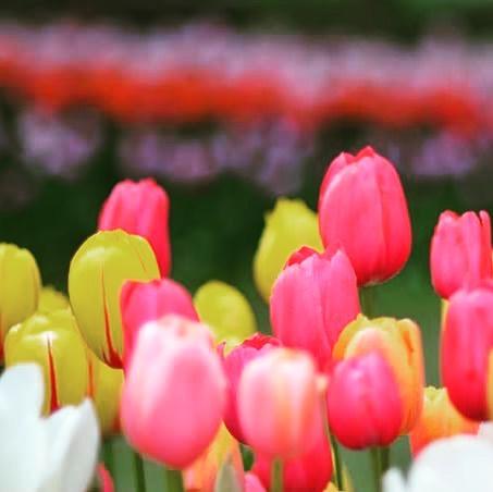 Skagit Valley, I ❤️you.  See you next year.  #tulips #instaflower #nature #tulipfestival #skagitvalley #pnw #flowers #spring #washingtonstate #aprilshowersbringmayflowers #pugetsound #ilovetulips