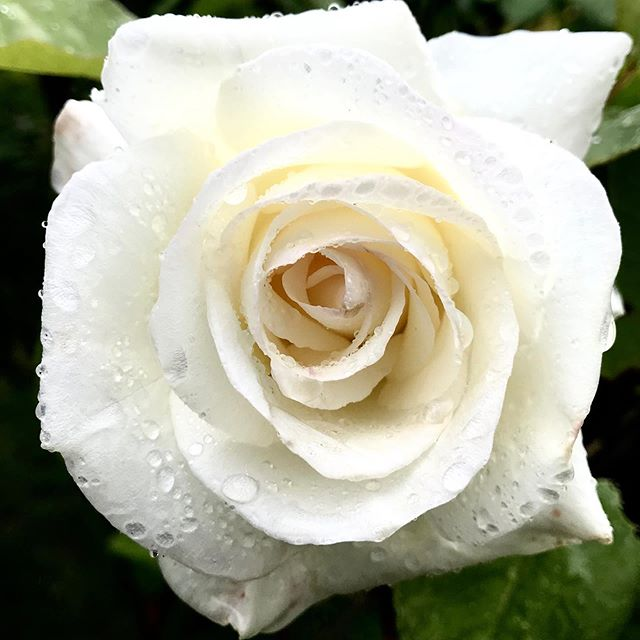 """Raindrops on roses,"" are some of my favorite things. #roses #whiteroses #raindropsonroses #flowers #naturephotography #instaflower #garden #nature #rain #naturalbeauty #rosegarden #rosarian"