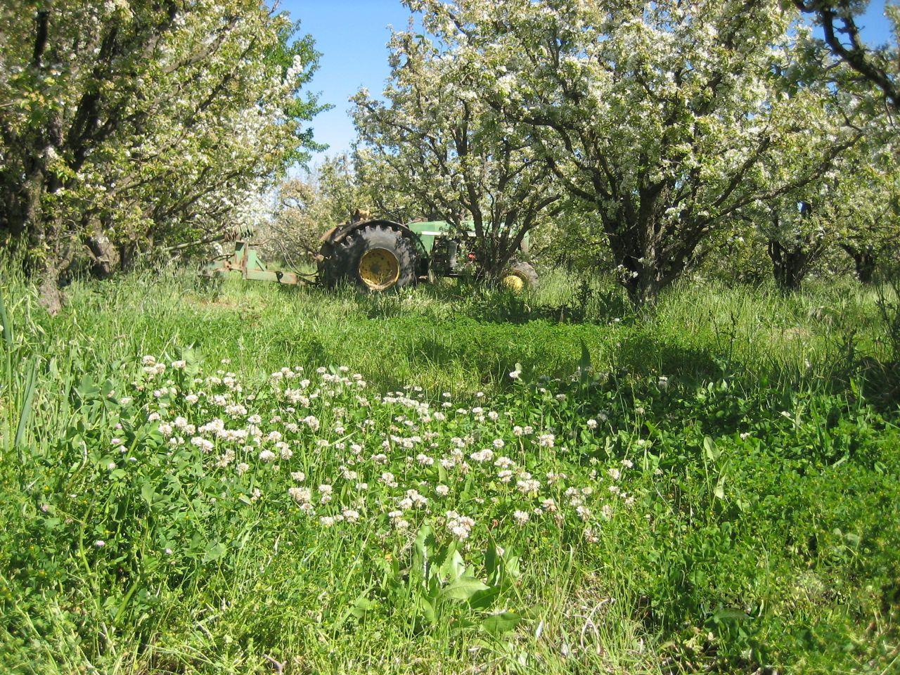 clover, pear blossom.jpg