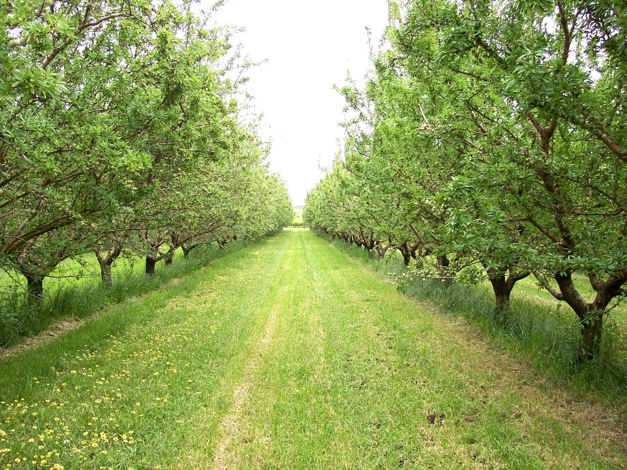 Almonds 2.jpg
