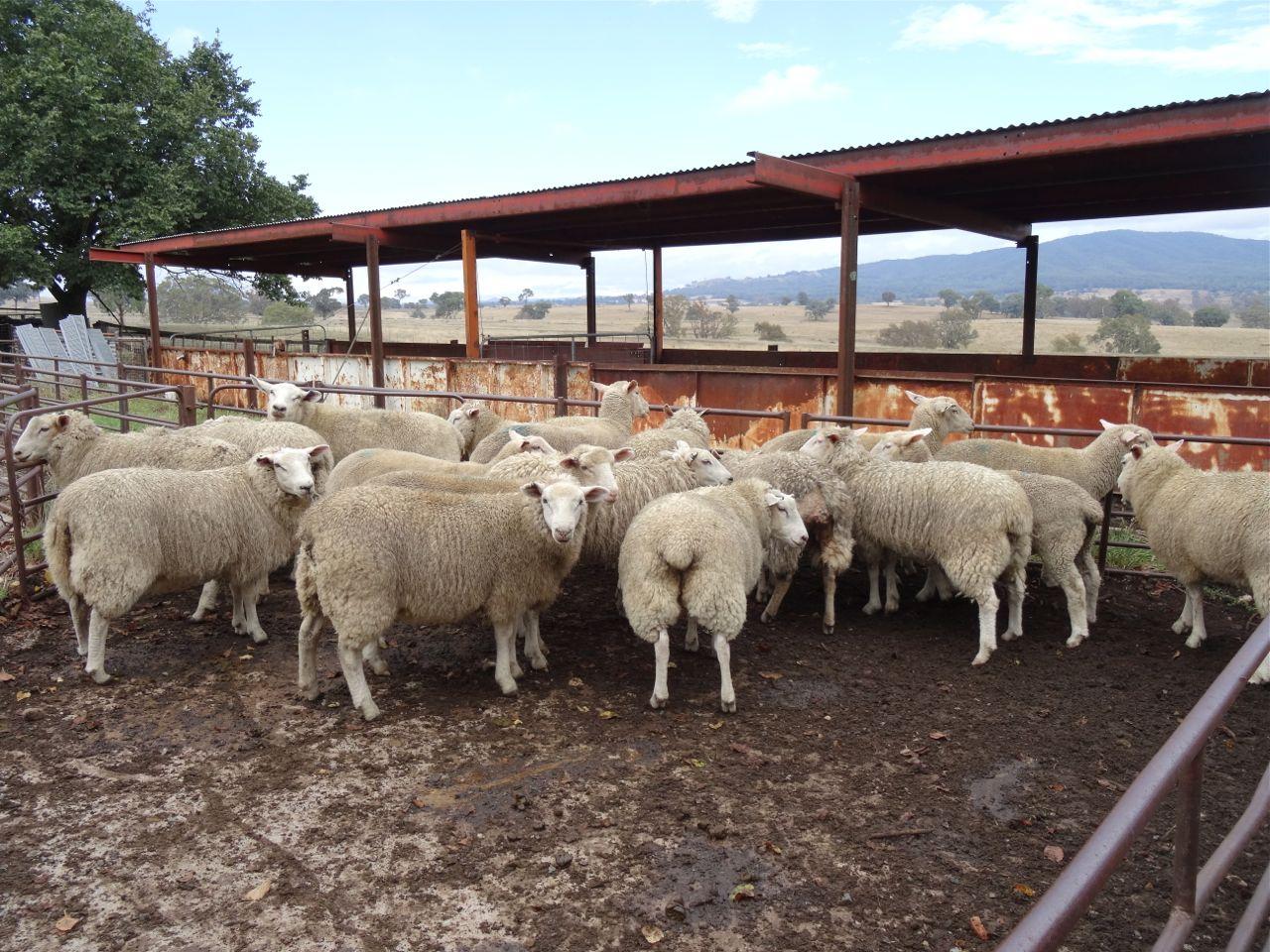 Fred sheep8.jpg