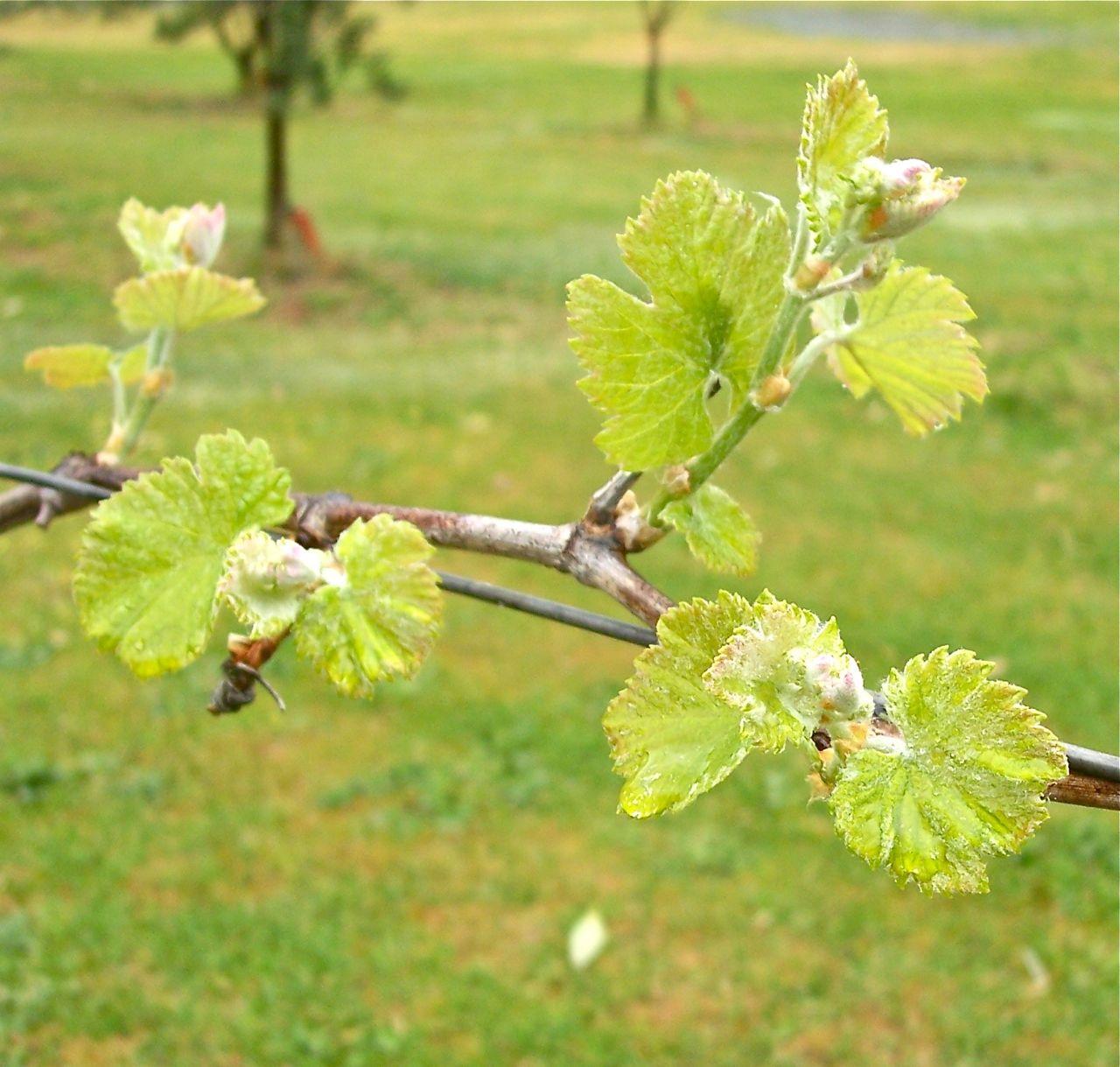 closeup vine.jpg