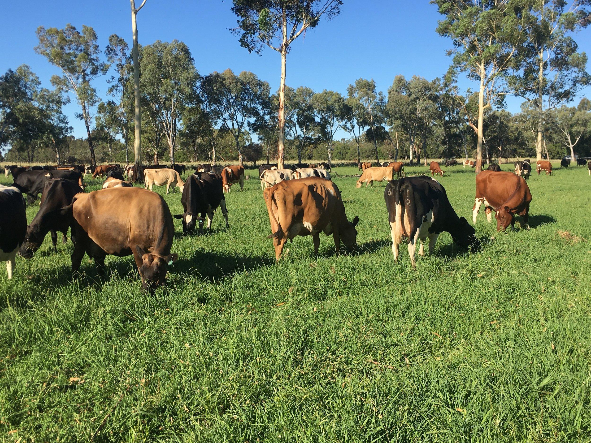 cows in paddock.jpg