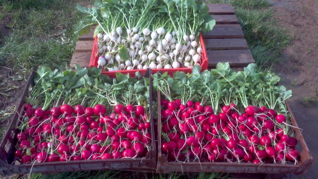 turnips and radishes.jpg