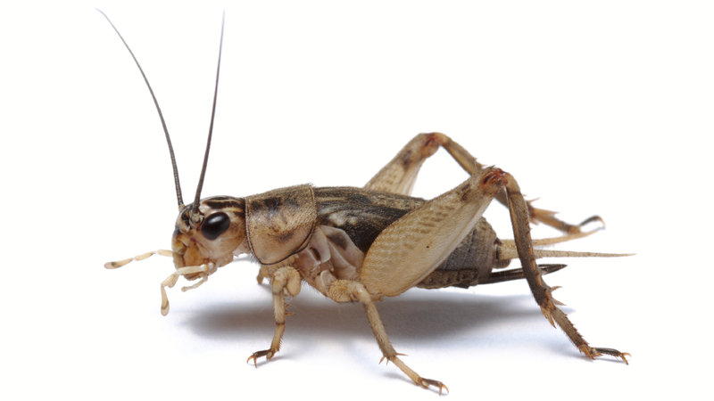 A photo by NPR of a cricket. It doesn't look like the famous image of Jiminy Cricket at all . . .
