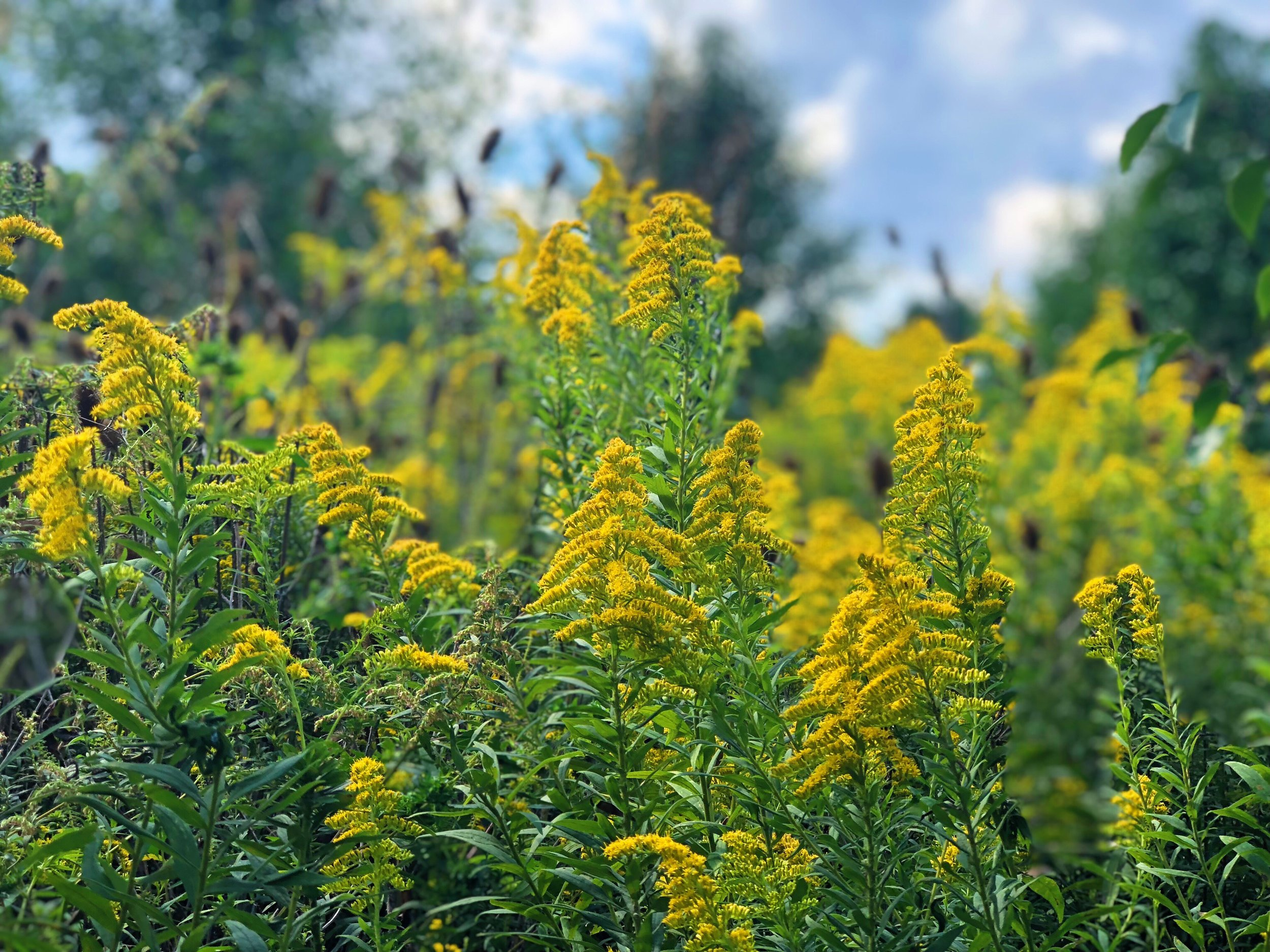 The sign of Autumn, Goldenrod.