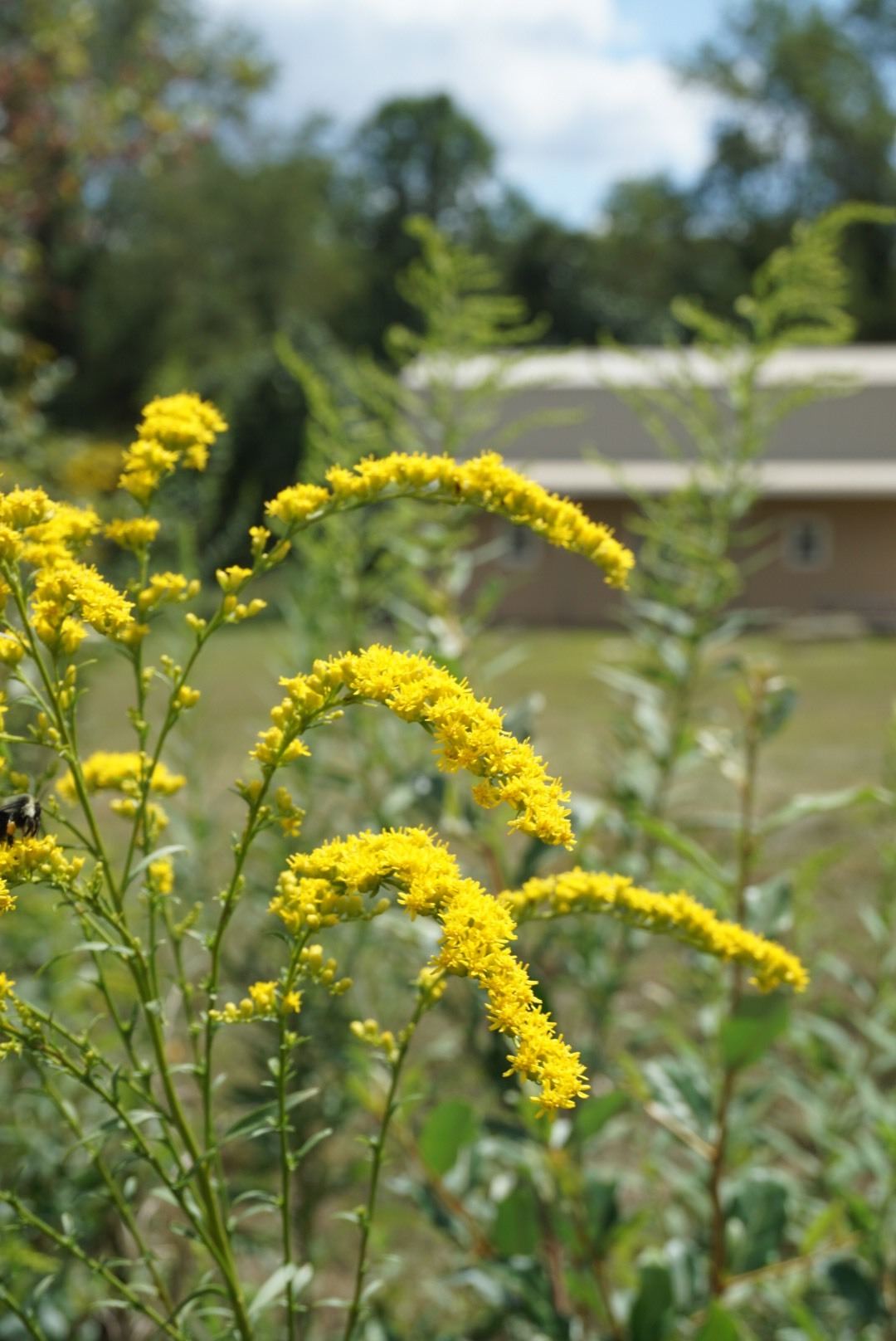 Goldenrod, solidago spp - A complete in-depth look into the herbal ally, Goldenrod.