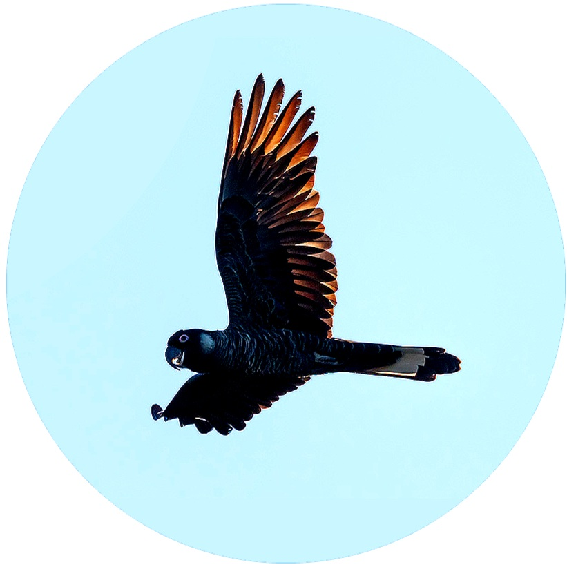 Our logo is the Black Cockatoo. The photograph is by Georgina Steytler.The Baudin and Carnaby Black Cockatoo of South West Australia are endangered.Cockatoo Colab pays our respect to this bird in flight. It also represents marginalised voices, that are overlooked to the point of extinction…You can support the effort to save the Cocky here -