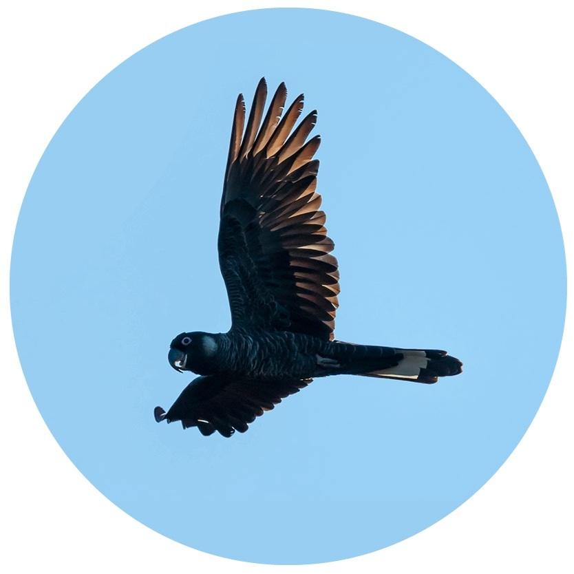 img-baudins-black-cockatoo-flying-1000x667.jpg.jpg