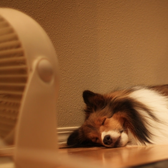 Dog sleeping on the a/c vent in front of a fan.