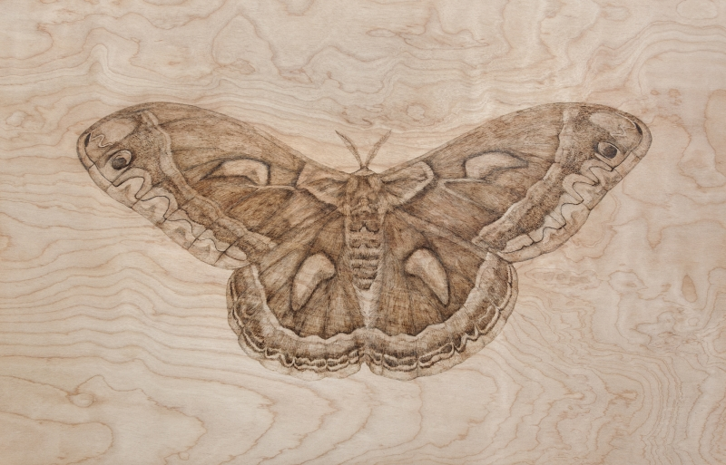 Hyalophora cecropia, 2015  Wood burning 28 x 18 inches