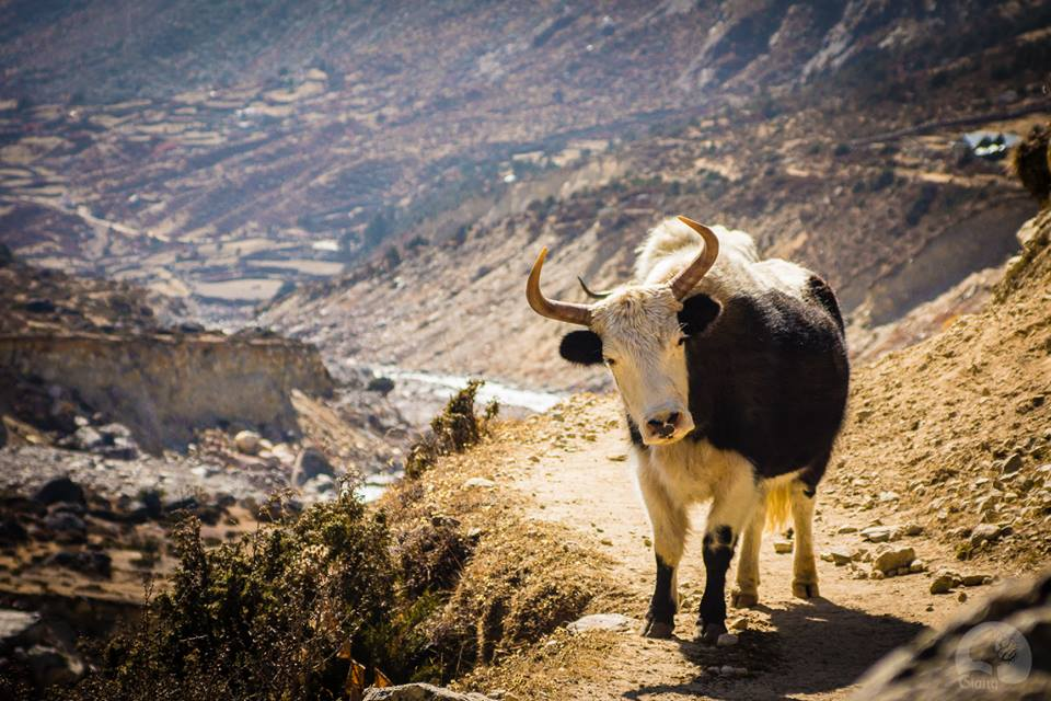 When meeting Yak stay on the mountain side. Photo by Giang Hoang.