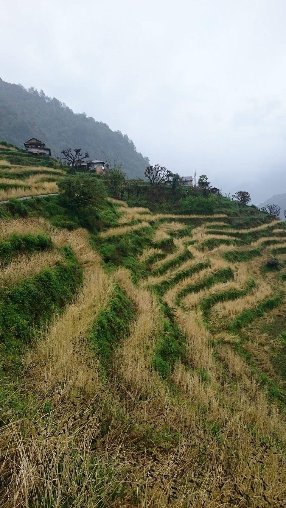 Ngang qua cánh đồng lúa mạch đang độ chín vàng.