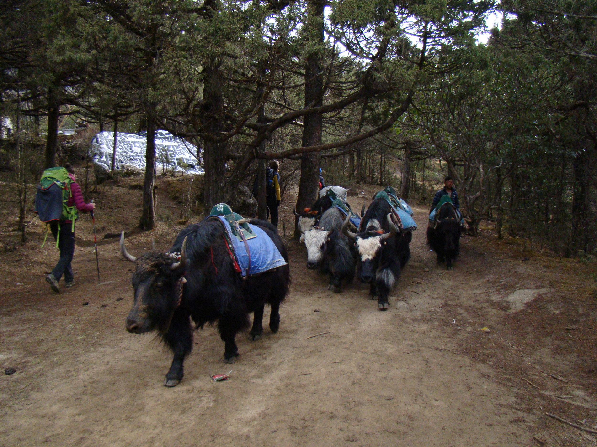 Yaks walking in pine forest in Pangboche - Photo by Filip Lhota