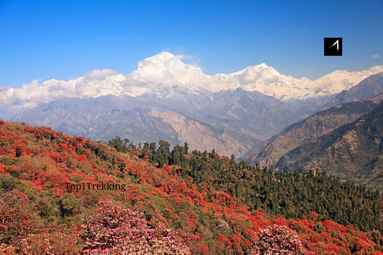 Hoa đỗ quyên đỏ tương phản với ngọn núi tuyết trắng lộng lẫy Dhauragili, Poon Hill Trek