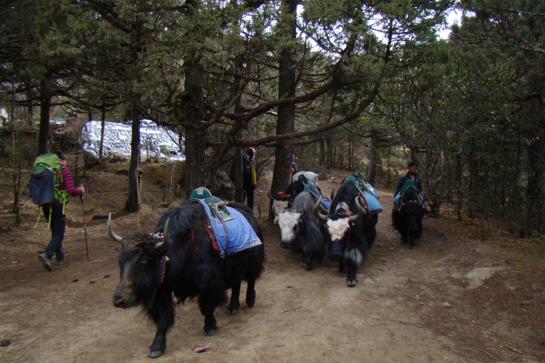 Chung đường với những chú bò Yak