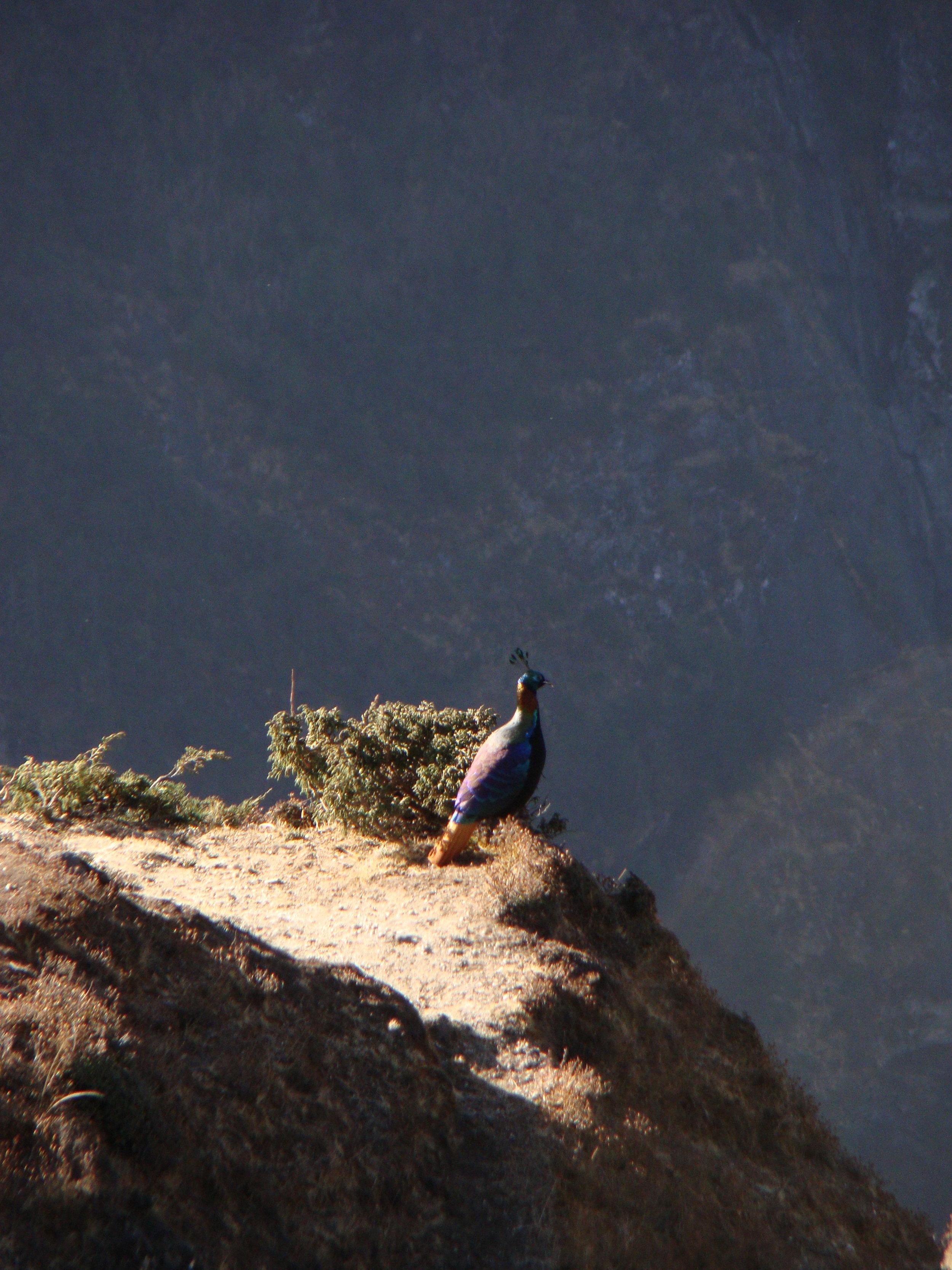 Một chú chim trĩ sưởi ấm trong nắng sớm trên đường đi Everest View Hotel @Fillip Lhota