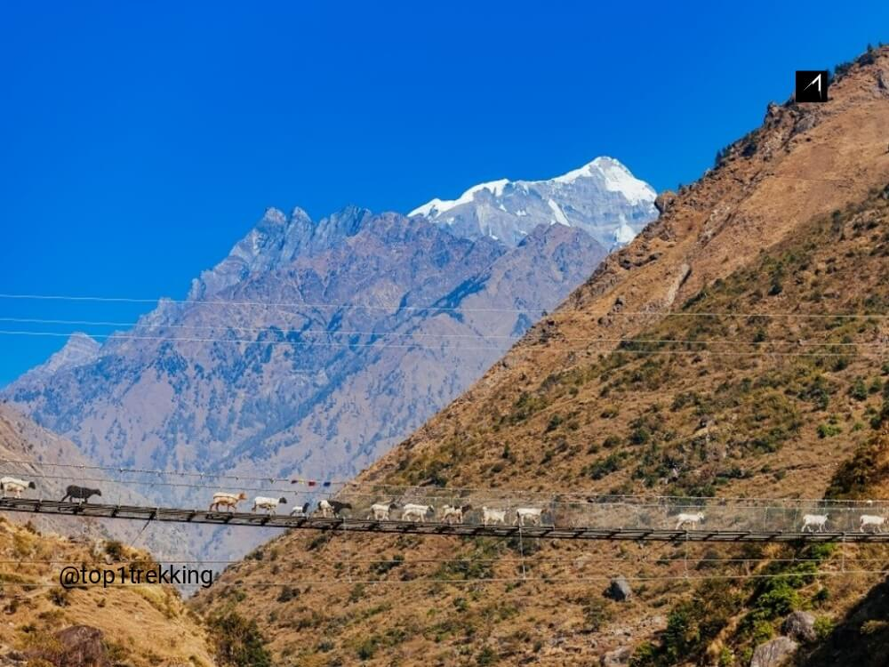 Goat caravan passing suspension bridge in Manaslu Restricted Area