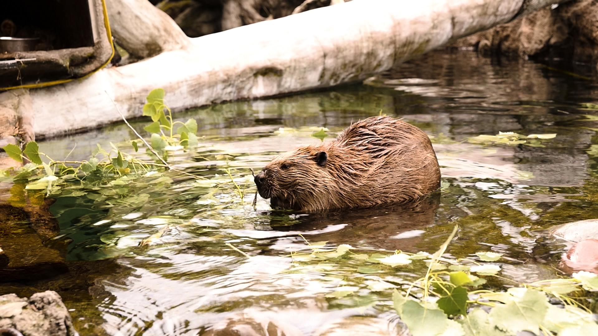 7. Beaver.00_00_26_07.Still005.jpg