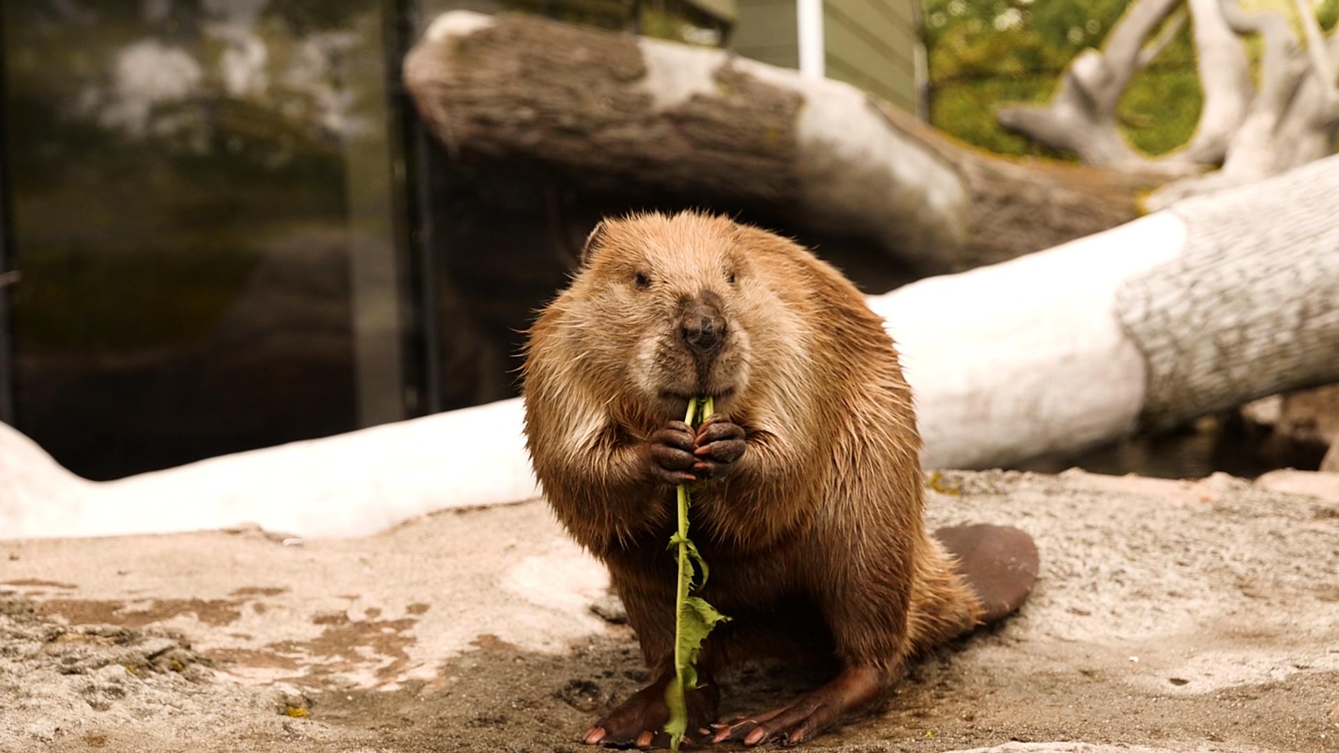7. Beaver.00_00_29_20.Still006.jpg