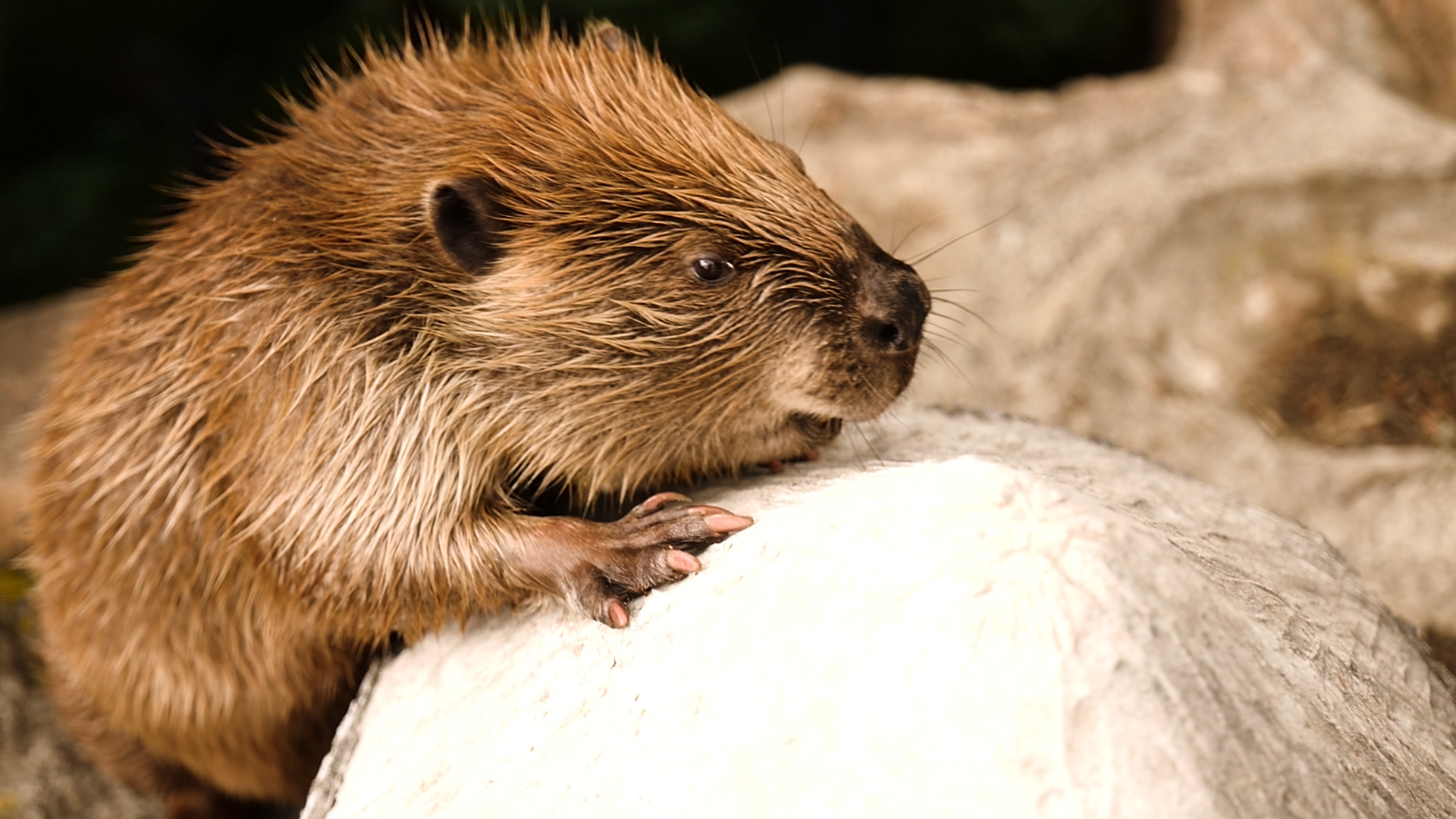 7. Beaver.00_00_39_13.Still007.jpg