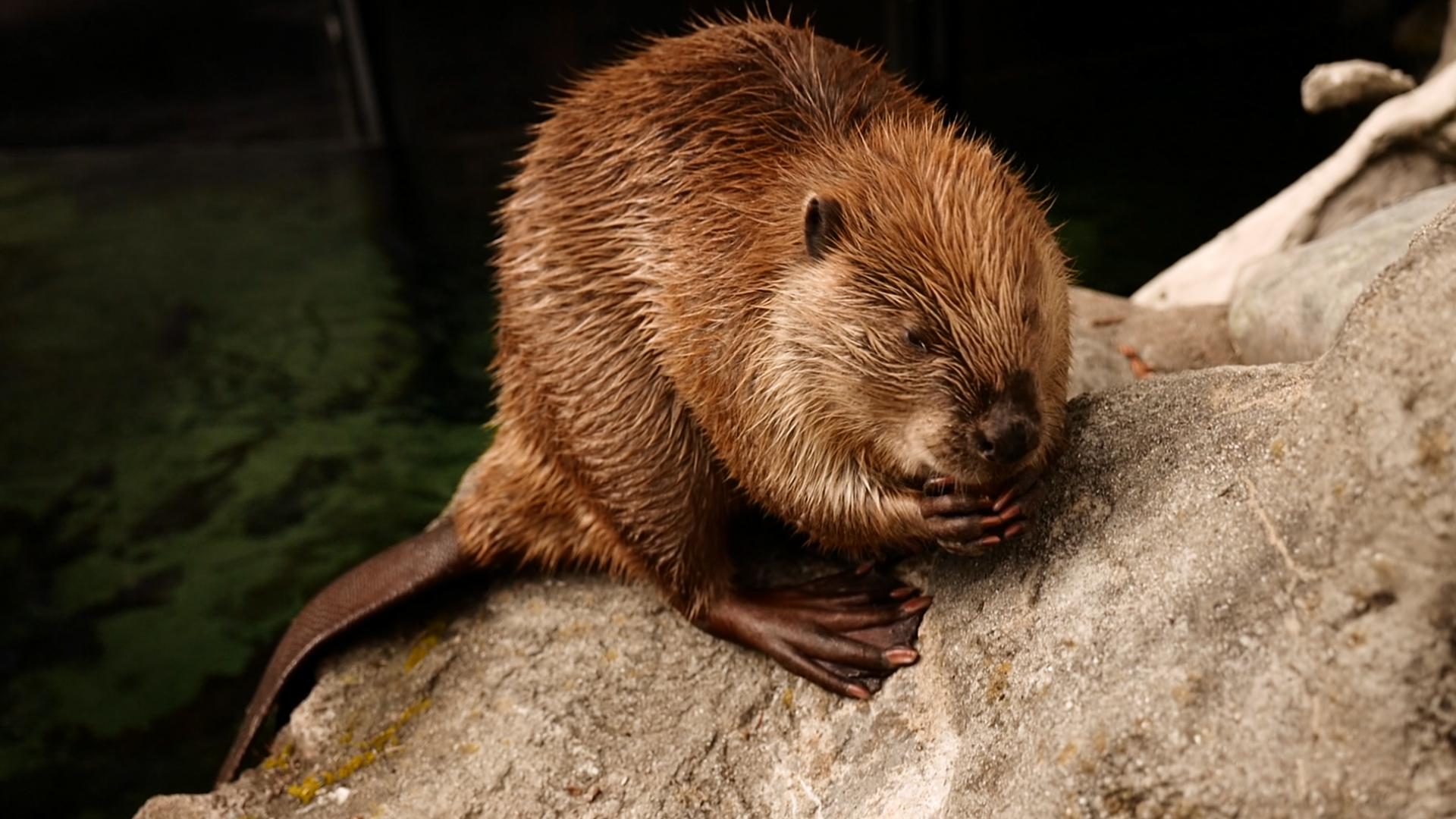 7. Beaver.00_00_43_15.Still009.jpg