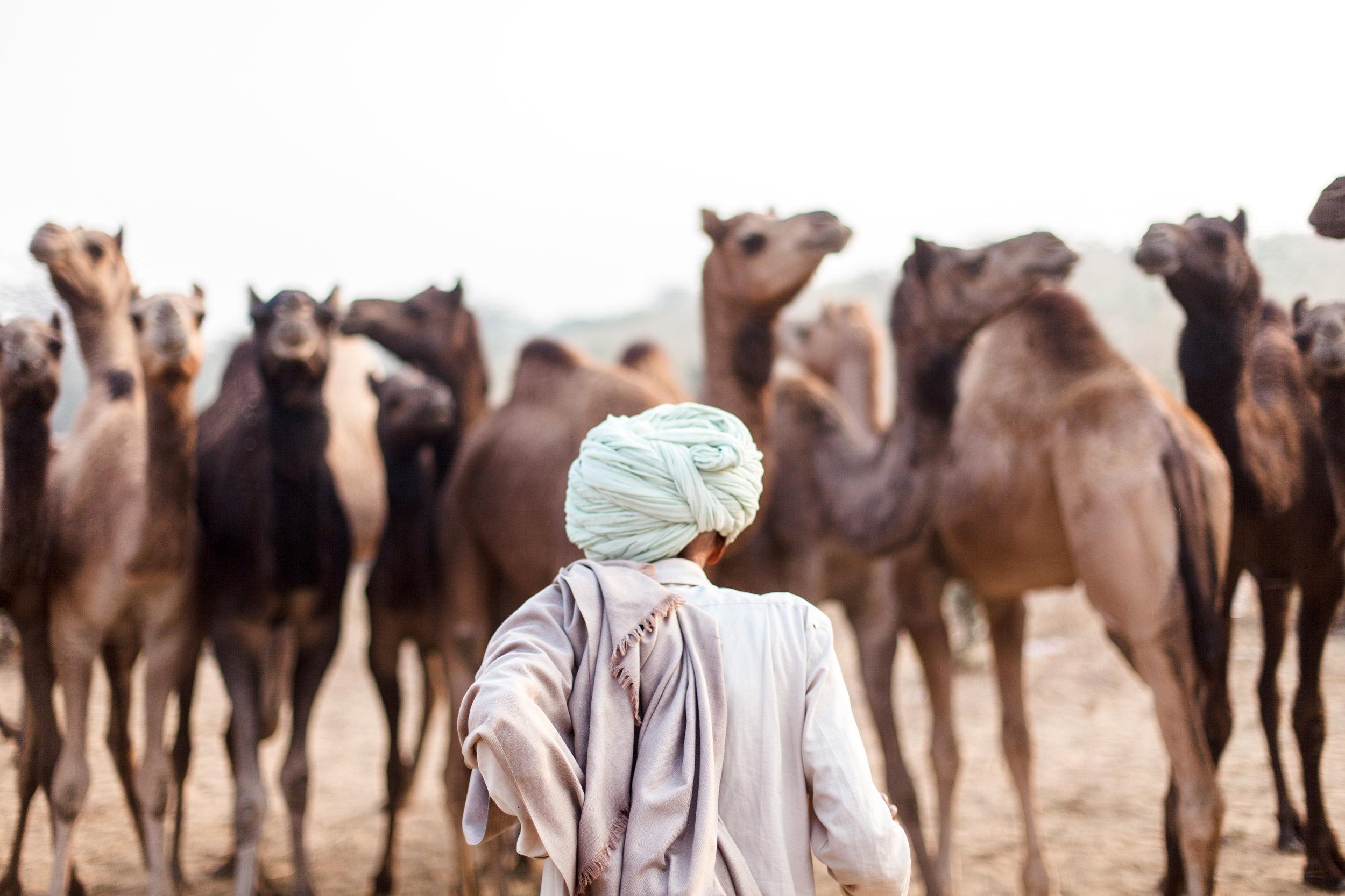 Pushkar-camel