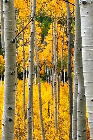 Yellow Aspens.jpg