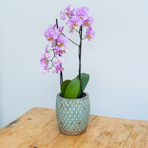 Moth Orchid (Phalaenopsis)  Picture courtesy of Stupid Egg ;)