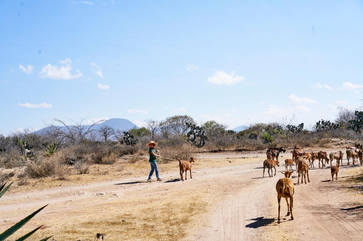 Goats Miahuatlan.jpg