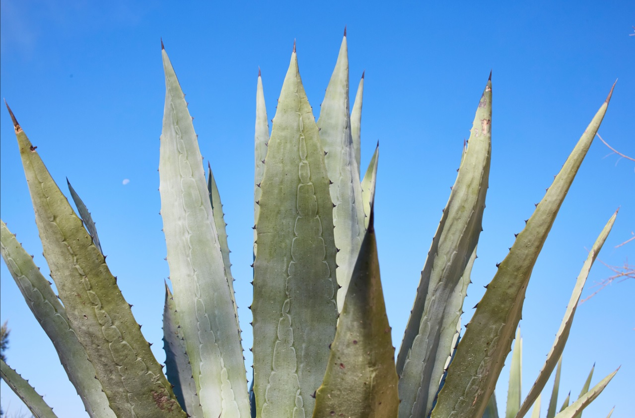 Maguey and blue sky
