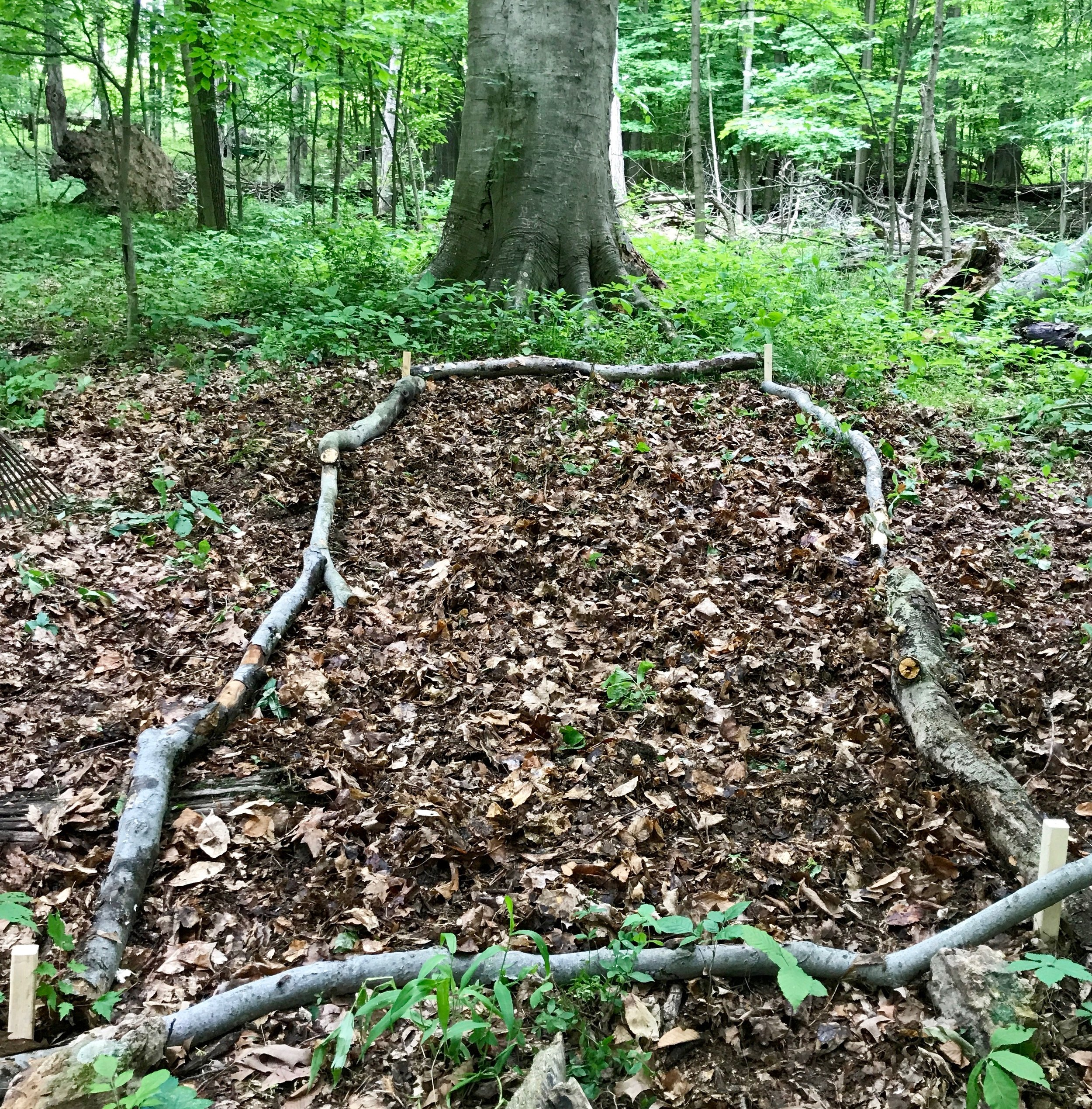 A small bed in the woods where we planted the Bloodroot seeds we collected.