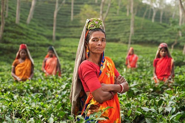 tea-harvest-640.jpg