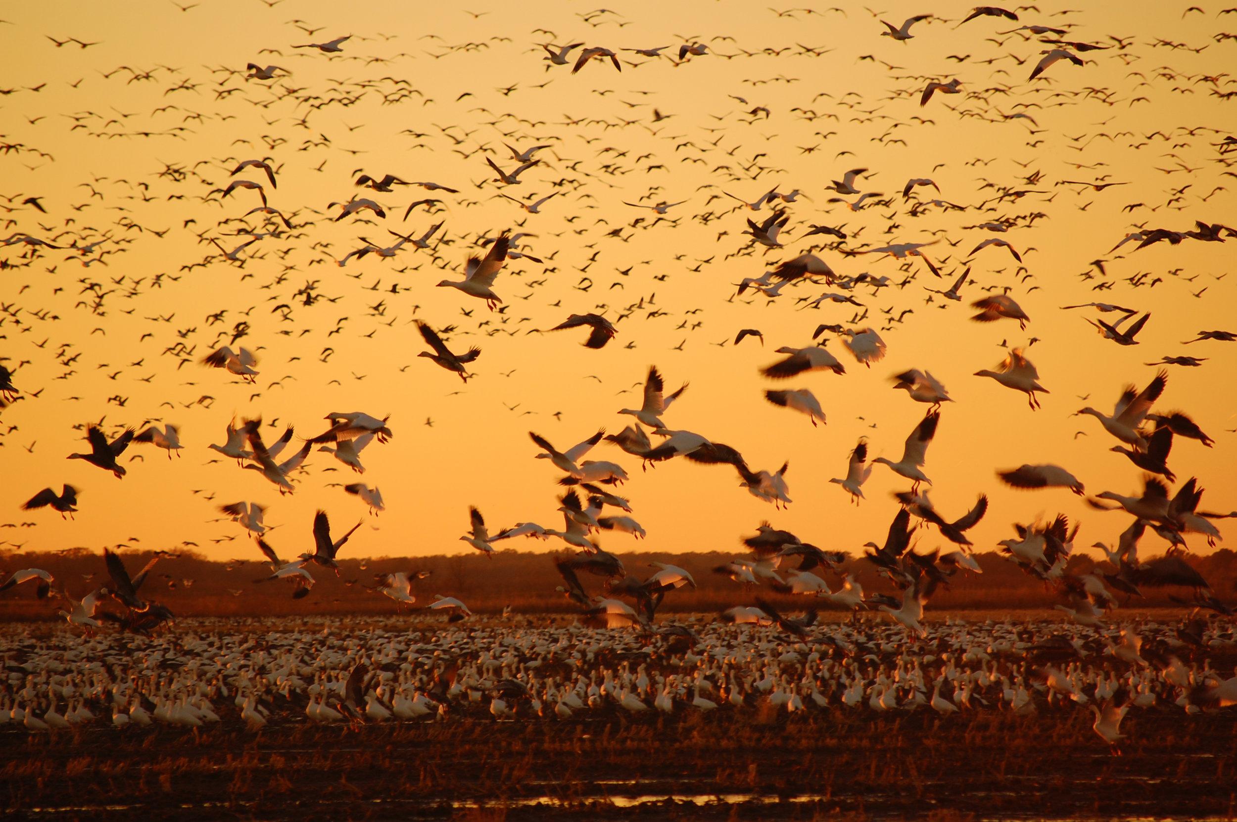 Migration over the Mississippi Delta