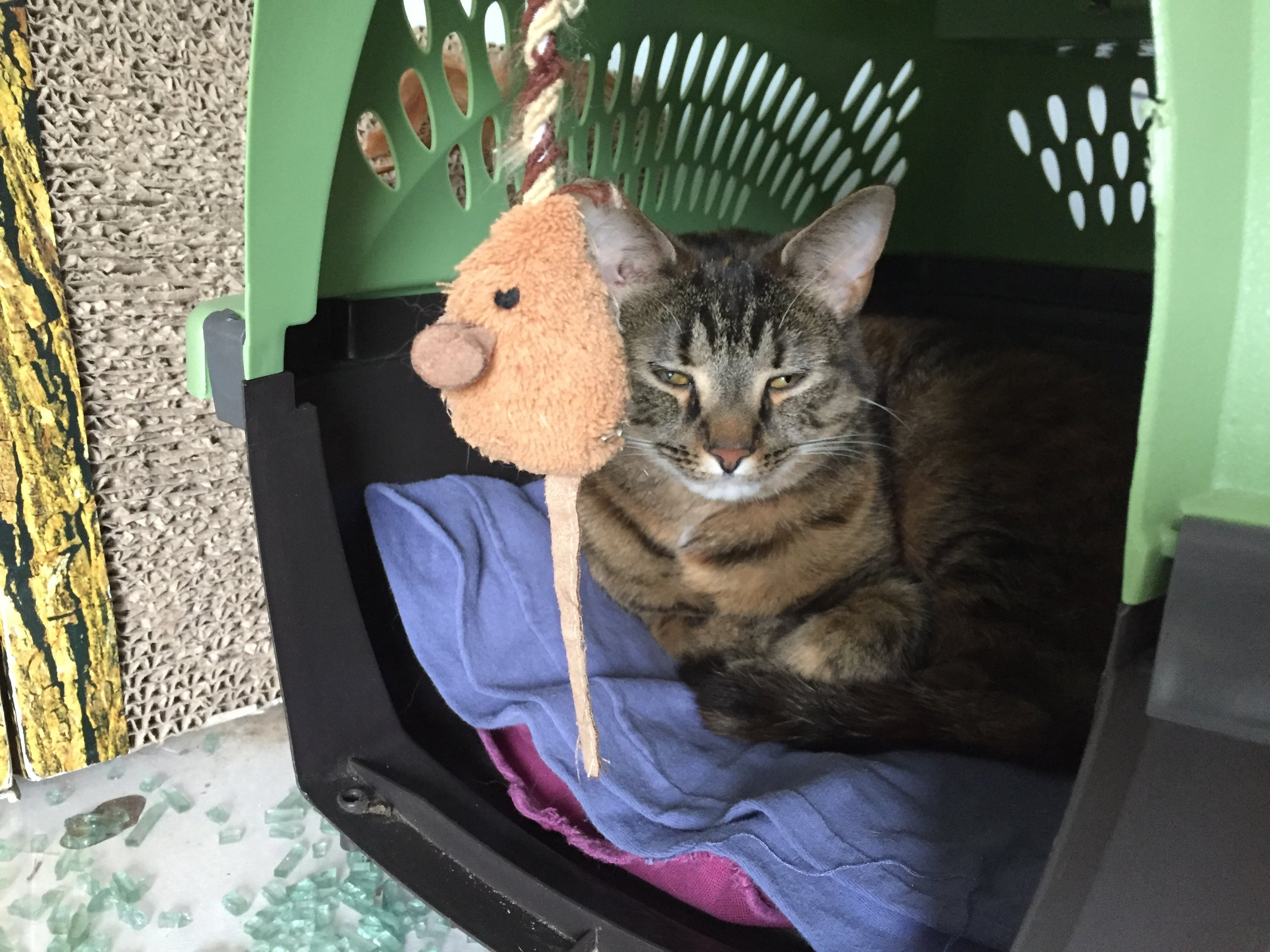 Does your cat hate the carrier? Learn how to change that hate to love!
