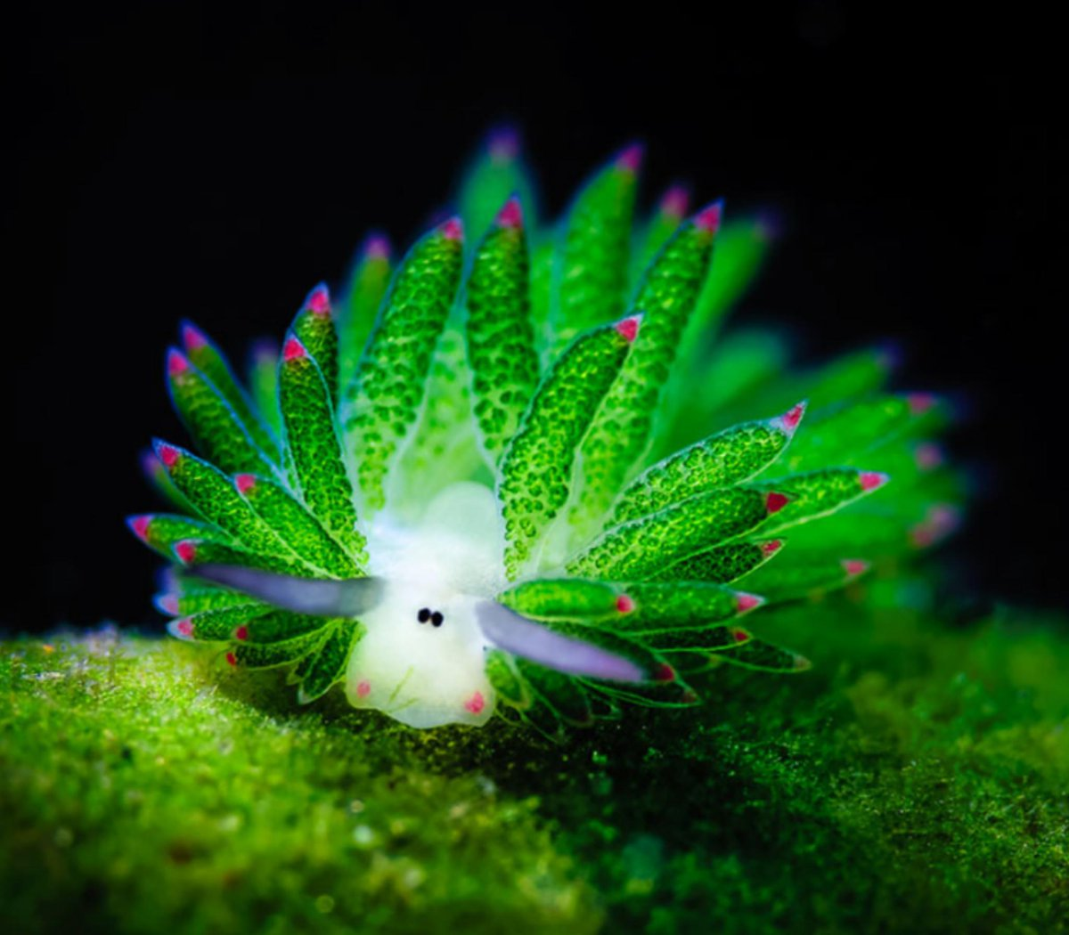 Leaf Sheep Sea Slug.jpg