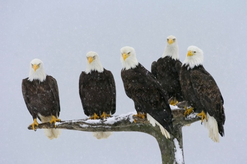 bald-eagles-perching.jpg